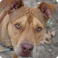 Adopt A Pet :: Ace - Kansas City, MO