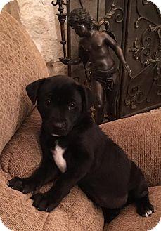 Labrador Retriever Mix Puppy for adoption in Kaufman, Texas - Triton