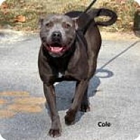 Pit Bull Terrier Mix Dog for adoption in Madisonville, Tennessee - Cole