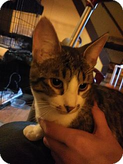 Domestic Shorthair Kitten for adoption in Middletown, Ohio - Boots