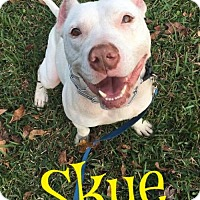 Staffordshire Bull Terrier Mix Dog for adoption in Cantonment, Florida - Skye