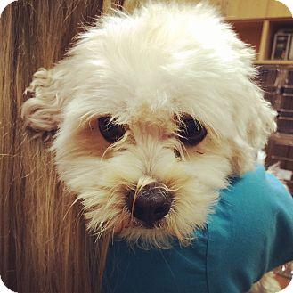 Maltese/Poodle (Miniature) Mix Dog for adoption in Mission Viejo, California - Jackson
