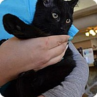 Domestic Shorthair Cat for adoption in Houston, Texas - Edward