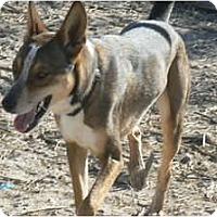Greyhound/Australian Cattle Dog Mix Dog for adoption in Thatcher, Arizona - Luke