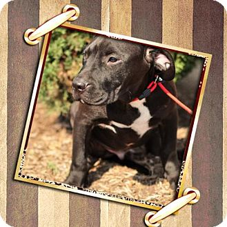 Labrador Retriever/American Pit Bull Terrier Mix Dog for adoption in Humble, Texas - VN