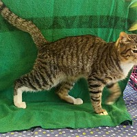 Adopt A Pet :: Billy - Houston, TX