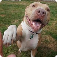 Pit Bull Terrier Mix Dog for adoption in Seattle, Washington - Mercury
