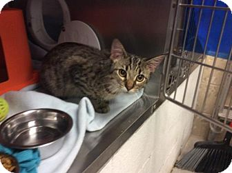 Domestic Shorthair Cat for adoption in Janesville, Wisconsin - Potter