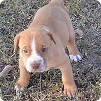 Labrador Retriever/Australian Cattle Dog Mix Puppy for adoption in Manchester, New Hampshire - Dexter