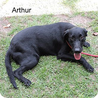 Labrador Retriever Mix Dog for adoption in Slidell, Louisiana - Arthur