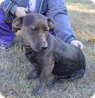 Basset Hound/Labrador Retriever Mix Dog for adoption in Cranston, Rhode Island - Brownie-application pending