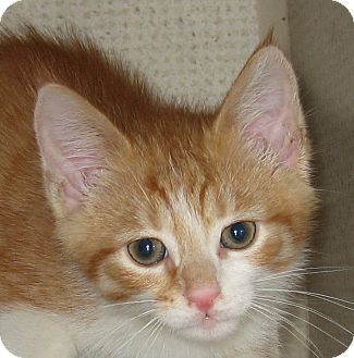 Domestic Shorthair Kitten for adoption in Hamilton, New Jersey - CREAMY-2012