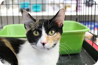 Calico Kitten for adoption in Santa Monica, California - Celine