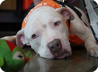 Pit Bull Terrier Mix Dog for adoption in Baton Rouge, Louisiana - Buster