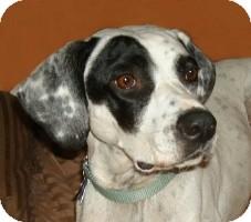 Dalmatian/Pointer Mix Dog for adoption in Adelphi, Maryland - Katherine Hepburn