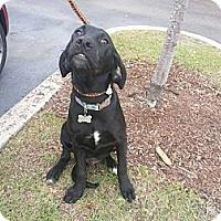 Adopt A Pet :: Stewie - New orleans, LA
