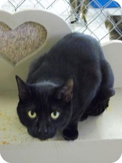 Domestic Shorthair Cat for adoption in East Smithfield, Pennsylvania - Serendipity