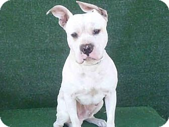 American Bulldog/Boxer Mix Dog for adoption in Beverly Hills, California - Pinky