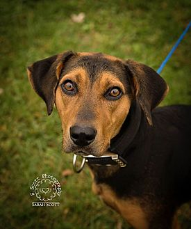 Harrier/Coonhound (Unknown Type) Mix Dog for adoption in Guelph, Ontario - Autumn