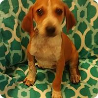 Adopt A Pet :: Benny - Trenton, NJ