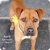 Adopt A Pet :: APRIL - Conroe, TX