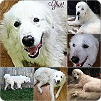 Adopt A Pet :: Ghost - Kyle, TX