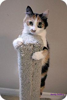 Calico Cat for adoption in Paris, Maine - Jinny