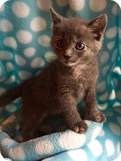 Domestic Shorthair Kitten for adoption in Union, Kentucky - Judy Hopps Mittens