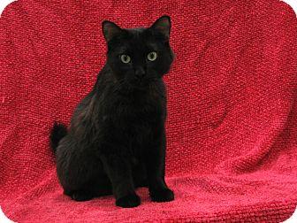 Domestic Longhair Cat for adoption in Redwood Falls, Minnesota - Kwazii
