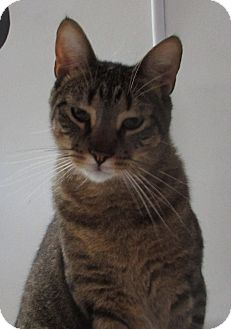 Domestic Shorthair Cat for adoption in Jackson, Missouri - Pampers