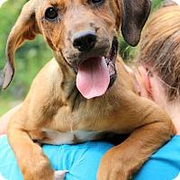 Adopt A Pet :: Dixie Lou~ meet me! - Glastonbury, CT