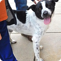 Border Collie Mix Dog for adoption in Rockville, Maryland - Chaz