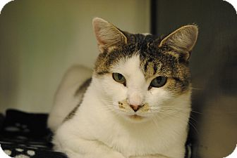 Domestic Shorthair Cat for adoption in Windsor, Virginia - Cheryl