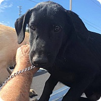 Labrador Retriever Mix Dog for adoption in Broken Arrow, Oklahoma - Mr. Black