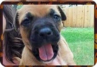 Boxer Mix Puppy for adoption in Coldwater, Michigan - Mary