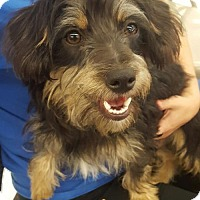 Yorkie, Yorkshire Terrier/Miniature Pinscher Mix Puppy for adoption in Colton, California - ! 3 Sir Winston