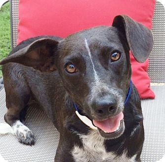 Australian Cattle Dog/Terrier (Unknown Type, Medium) Mix Dog for adoption in Locust Fork, Alabama - Logan/house broke ~B