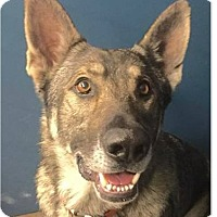 German Shepherd Dog Mix Dog for adoption in Springdale, Arkansas - Chestnut