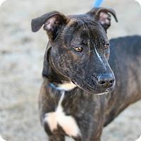 Adopt A Pet :: Troya - Stillwater, OK