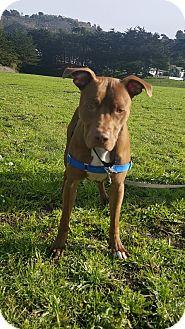 American Pit Bull Terrier/Labrador Retriever Mix Dog for adoption in San Francisco, California - Roan
