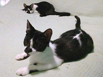 Domestic Shorthair Kitten for adoption in Whitestone, New York - Mace & Mikey