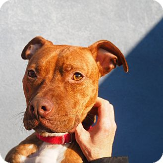 Pit Bull Terrier Mix Dog for adoption in Whitehall, Pennsylvania - Delilah