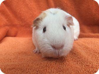 Guinea Pig for adoption in Imperial Beach, California - Nanya