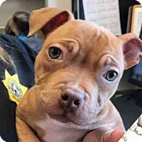 Adopt A Pet :: *JULIA ROBERTS - Sacramento, CA