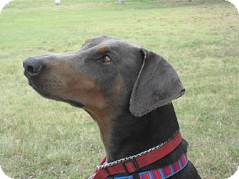 Doberman Pinscher Dog for adoption in killeen, Texas - Kari