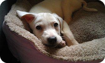 Labrador Retriever Mix Puppy for adoption in Long Beach, New York - Millie