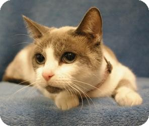 Ragdoll Cat for adoption in Sacramento, California - Chloe