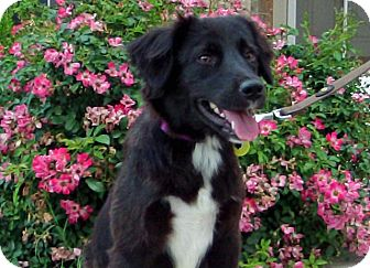 Border Collie/Spaniel (Unknown Type) Mix Dog for adoption in Austin, Texas - Mandi