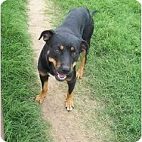 Rottweiler Mix Dog for adoption in Kaufman, Texas - Repo