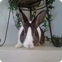 Adopt A Pet :: Corduroy - Watauga, TX